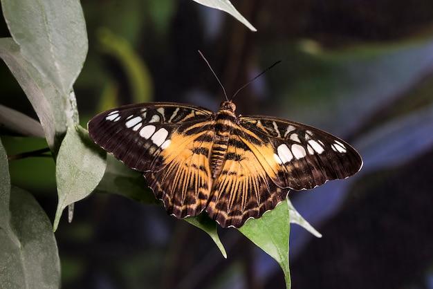 Weidevlinder met geopende vleugels Gratis Foto