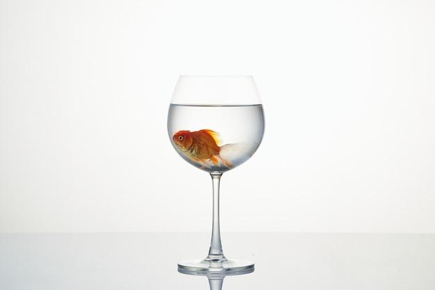 Weinig goudvis die zich in wijnglas water beweegt Premium Foto
