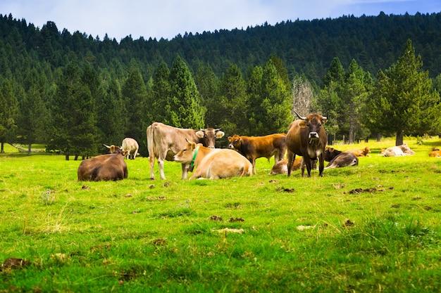 Weinig koeien op weide Gratis Foto