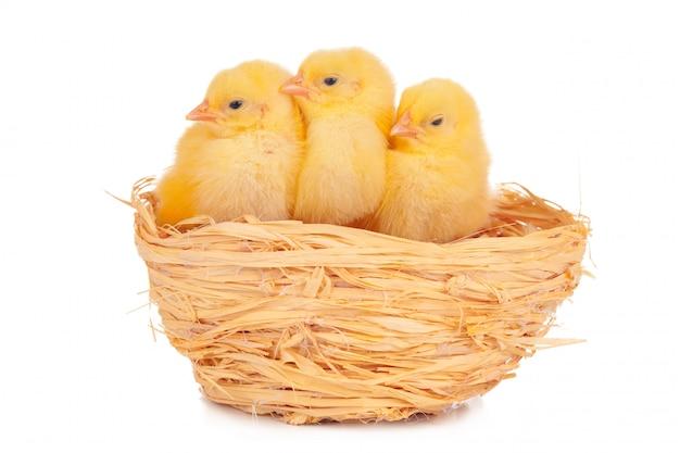 Weinig kuiken en eieren in geïsoleerd nest Premium Foto