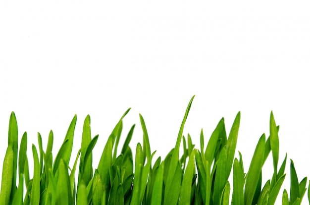 Wheatgrass geïsoleerd Premium Foto