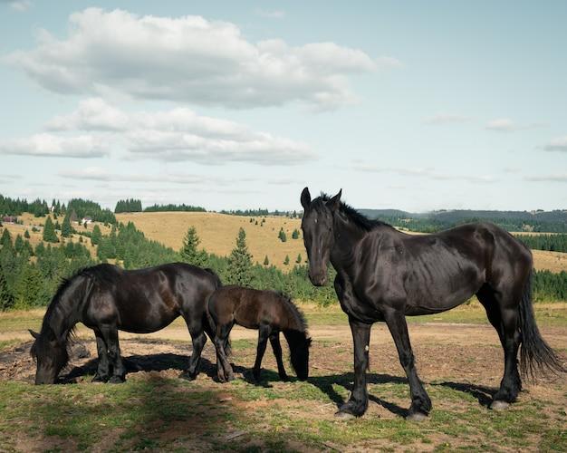 Wide shot van drie zwarte paarden in het veld omgeven door kleine sparren onder de bewolkte hemel Gratis Foto