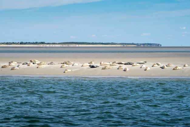Wide shot van wilde mooie schattige zeehonden in een kudde rust aan de kust van een zandstrand Gratis Foto