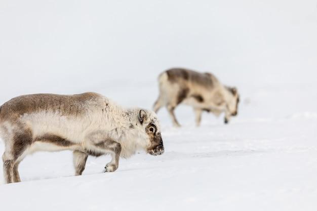 Wild svalbard reindeer, rangifer tarandus platyrhynchus, twee dieren op zoek naar voedsel onder de sneeuw Premium Foto