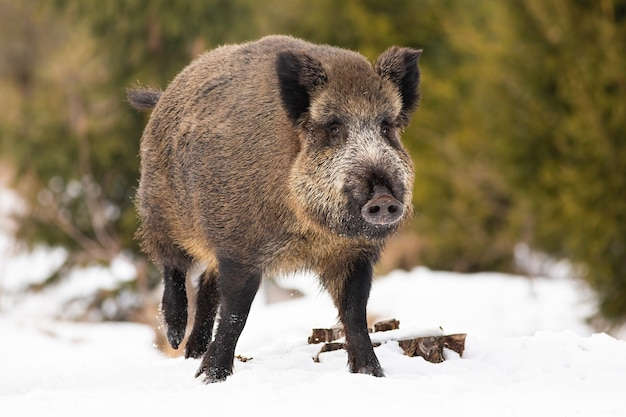 Wild zwijn lopen op besneeuwde veld in de natuur van de winter. Premium Foto