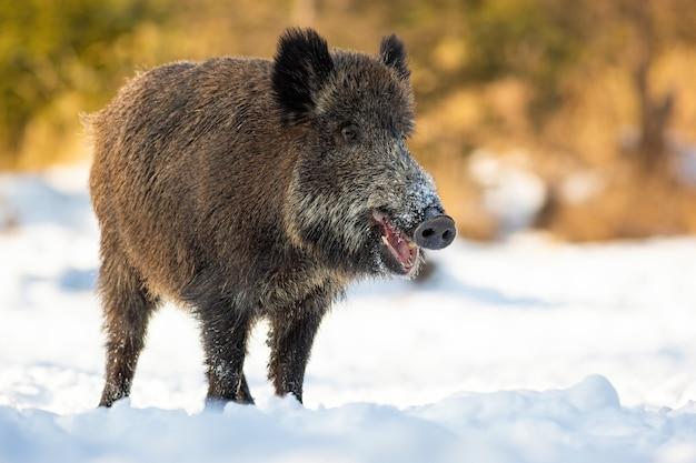 Wild zwijn staande op besneeuwde veld in de winter natuur. Premium Foto