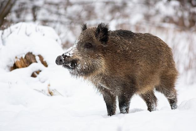 Wild zwijn staande op sneeuw in de natuur van de winter. Premium Foto