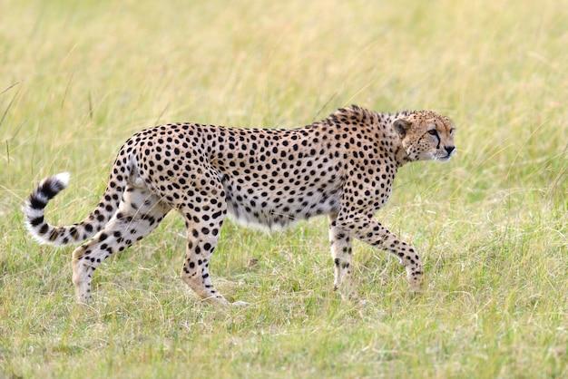 Wilde afrikaanse cheetah, mooi zoogdierdier. afrika, kenia Gratis Foto