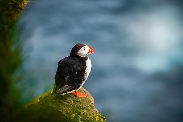Wilde atlantische papegaaiduiker zeevogel in de alkenfamilie. Premium Foto