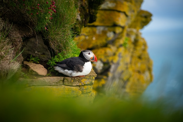 Wilde atlantische papegaaiduikerzeevogel in de alkfamilie. Premium Foto