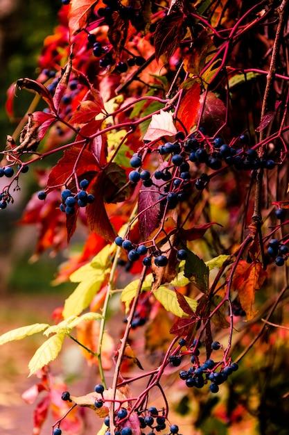 Wilde herfst druiven, gouden herfst Premium Foto
