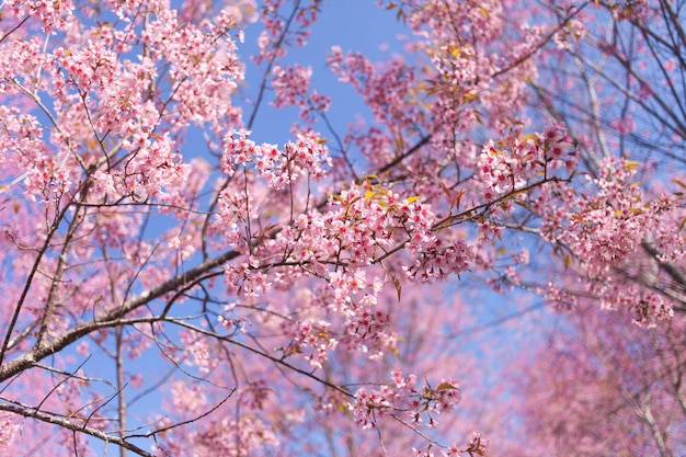 Wilde himalayan-kersenbloesems in lentetijd, de roze achtergrond van de sakurabloem Premium Foto