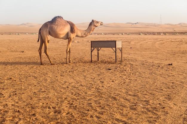 Wilde kamelen in de woestijn Premium Foto