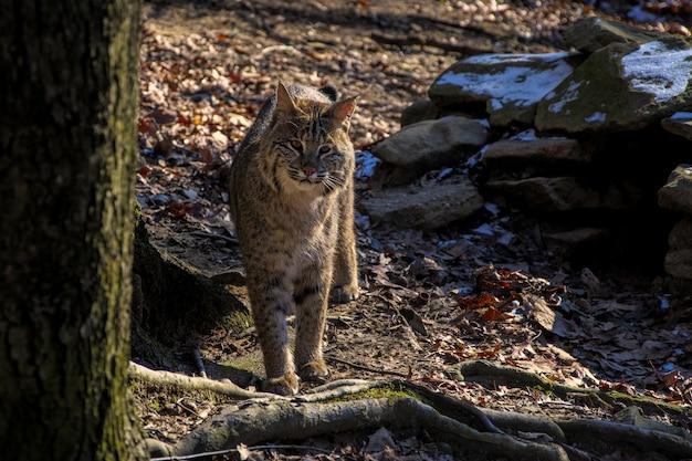Wilde kat die zich dichtbij een boom bevindt terwijl hij naar de camera kijkt Gratis Foto