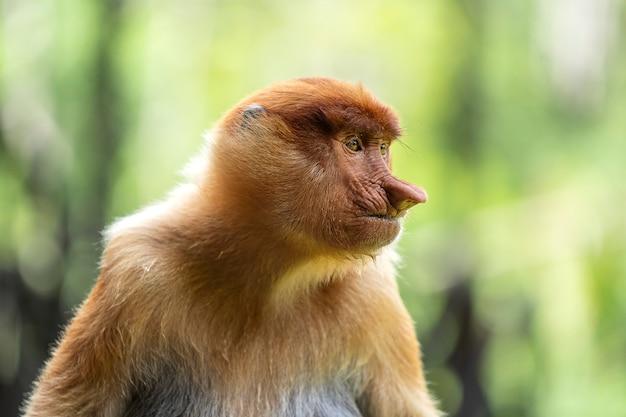 Wilde neusaap of nasalis larvatus, in het regenwoud van borneo, maleisië Premium Foto