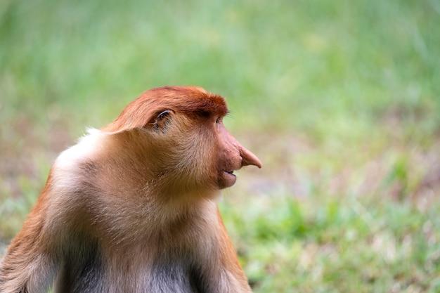 Wilde neusaap of nasalis larvatus, in het regenwoud van borneo Premium Foto