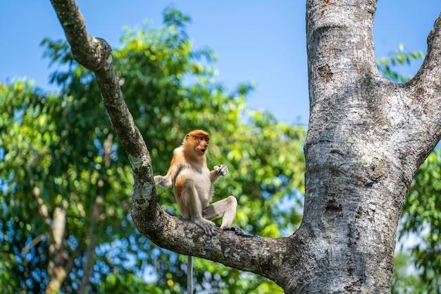 Wilde neusaap of nasalis larvatus, in het regenwoud van het eiland borneo, maleisië, close-up. aap zit op een boom Premium Foto