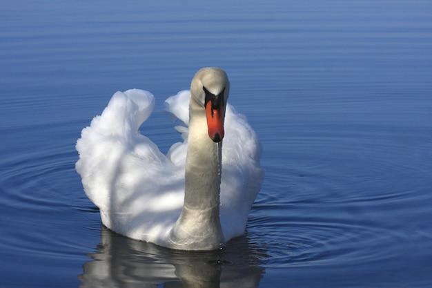Wilde zwaan dempen op zijn meer in frankrijk. Premium Foto