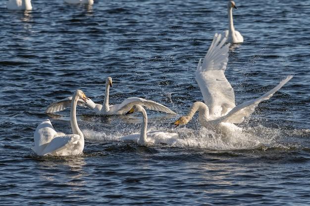 Wilde zwanen, cygnus-cygnus, vechtend in het hananger-water in lista, noorwegen Premium Foto