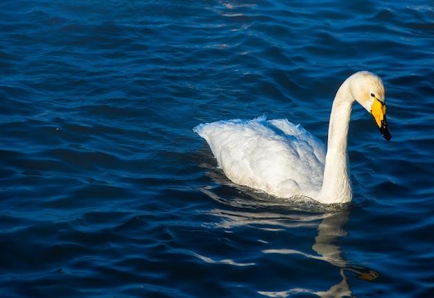 Wilde zwanen zwemmen in het meer Premium Foto