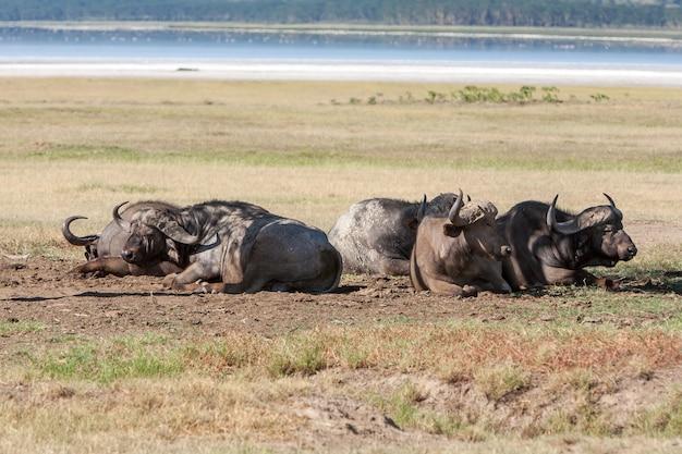 Wilde zwarte afrikaanse buffels liggen op de grassavanne in kenia, afrika Gratis Foto