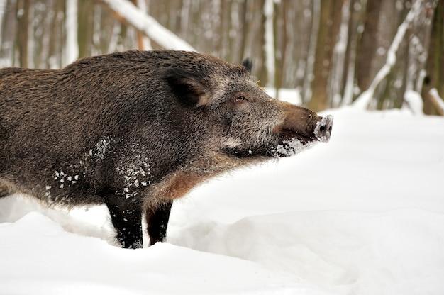 Wilde zwijnen in de winterbos Gratis Foto