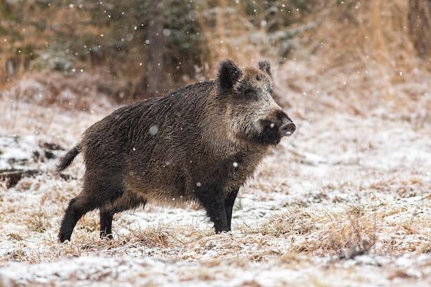 Wilde zwijnen lopen op de weide tijdens het sneeuwen. Premium Foto