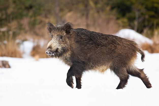 Wilde zwijnen lopen op een besneeuwde weide in de winter Premium Foto