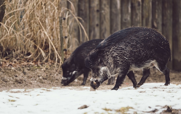 Wilde zwijnen op zoek naar voedsel in de met sneeuw bedekte grond Gratis Foto