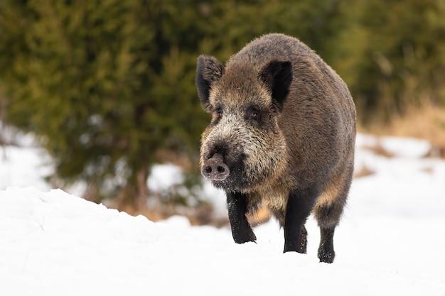 Wilde zwijnen verplaatsen op besneeuwde veld in de natuur van de winter Premium Foto