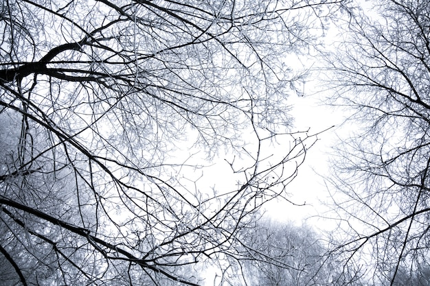 Winter berkenbomen Premium Foto