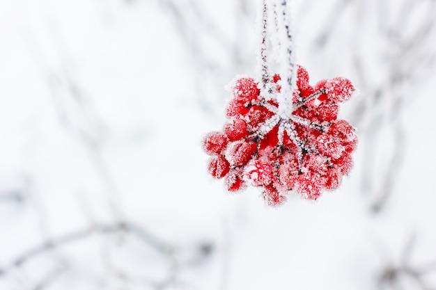 Winter bevroren viburnum onder sneeuw. viburnum in de sneeuw. eerste sneeuw. herfst en sneeuw. mooie winter Premium Foto
