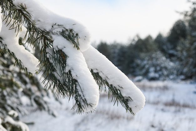 Winter bos natuur achtergrond van groenblijvende fir boomtakken met naalden vallende zware sneeuwval in zonlicht Premium Foto