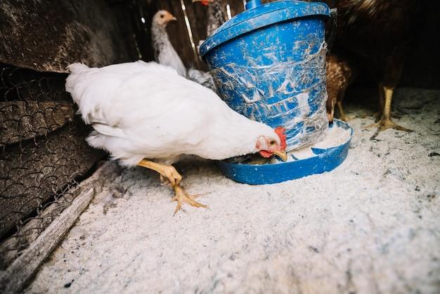 Wit kippen voedend voer in de kippenren Gratis Foto