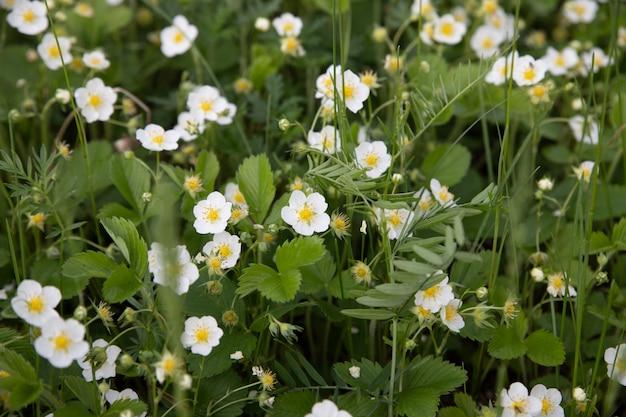 Witte aardbeibloemen. fragaria viridis. aardbeien die in een weide in het gras in de wildernis groeien. Premium Foto
