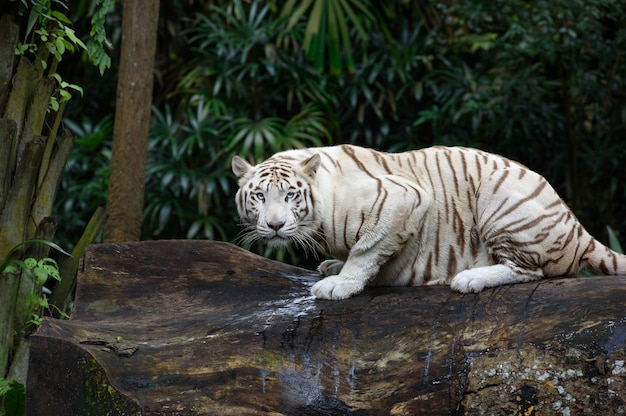 Witte bengaalse tijger kruipt in een jungle Premium Foto