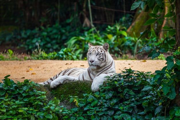 Witte bengaalse tijger Premium Foto