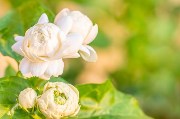 Witte bloem, jasmijn (jasminum sambac l.) Premium Foto