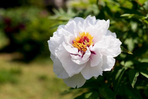 Witte bloemen in de tuin Premium Foto