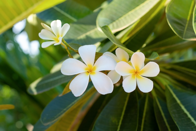 Witte bloemen plumeria (frangipani) met blad op boom Premium Foto