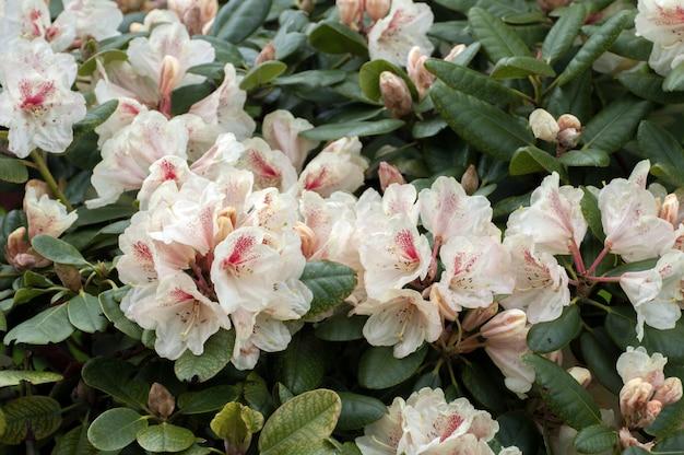 Witte bloemen rhododendron azalea bloemen Premium Foto