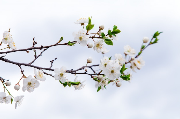 Witte bloemen van kers in een zonlicht in het voorjaar Premium Foto