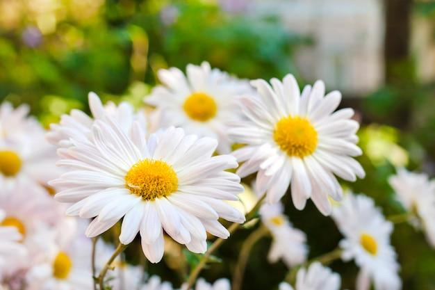 Witte de bloemenclose-up van de kamillechrysant Premium Foto