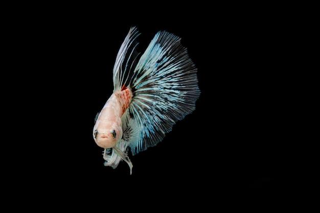 Witte en blauwe siamese kempvissen Premium Foto