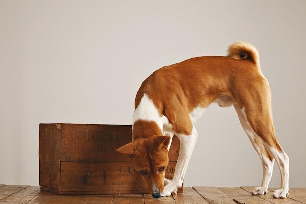 Witte en bruine hond die rond loopt snuffelt de vloer rond een mooie uitstekende houten kist tegen witte muurachtergrond Gratis Foto