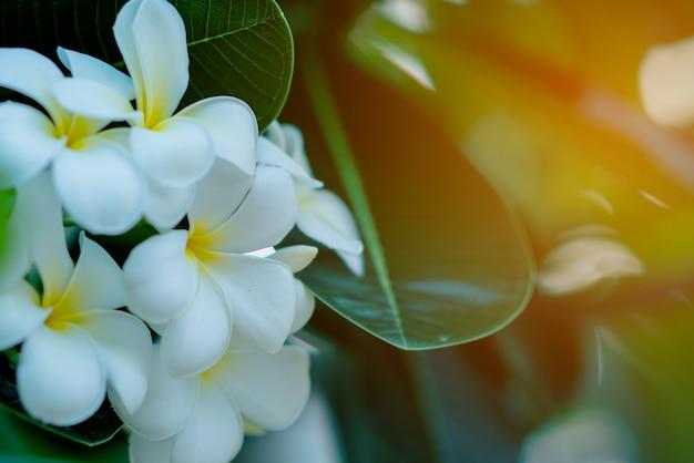 Witte en gele plumeriabloemen op een boom met zonsondergangachtergrond Gratis Foto