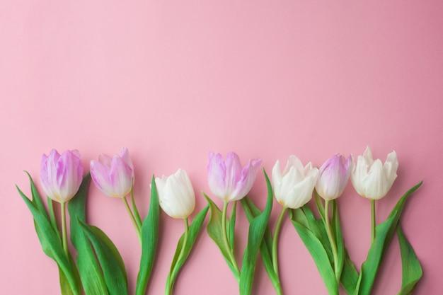 Witte en roze tulpen op een roze achtergrond. vrouwendag, lente. Premium Foto