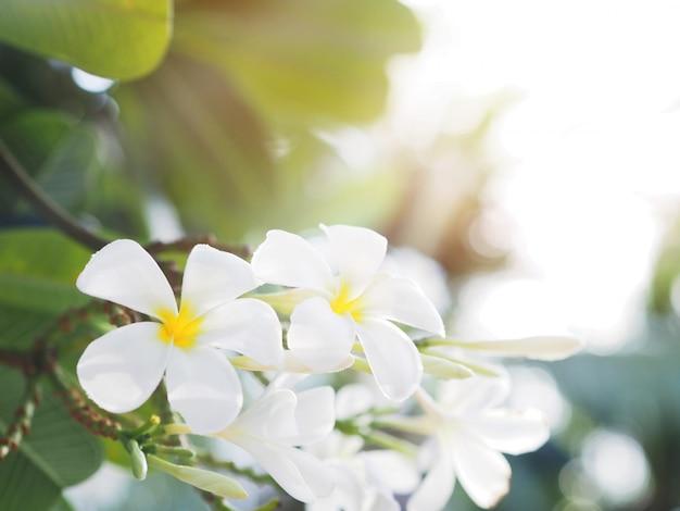 Witte frangipani (plumeria) bloem en bladeren Premium Foto