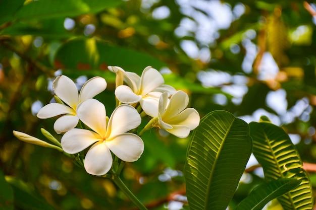 Witte frangipani tropische bloem, plumeria bloem bloeien op boom, spa bloem Premium Foto