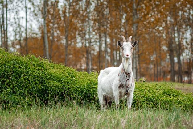 Witte geit in de wei, tegen de achtergrond van vegetatie. Premium Foto